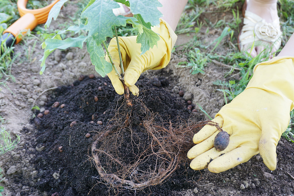 Во что сажать дубы 689