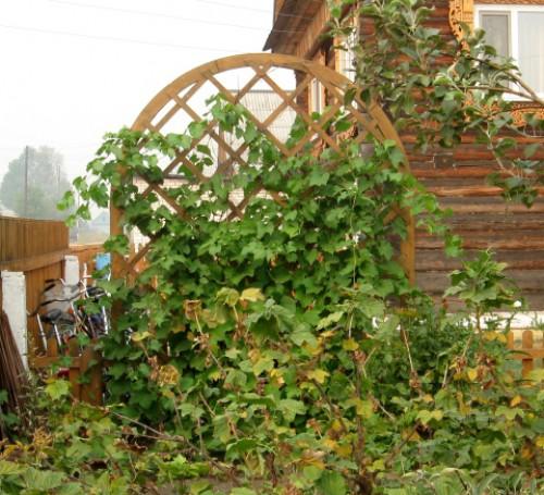 Дача шпалера для винограда своими руками фото