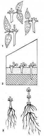 1. варианты нарезки черенков одним узлом; 2. посадка в двухслойный грунт; 3. укорененный черенок осенью и весной следующего года