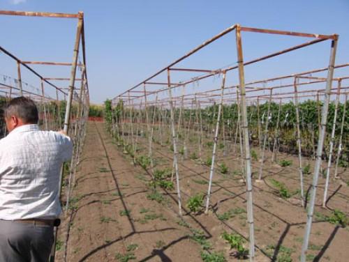 Как своими руками сделать опору для винограда